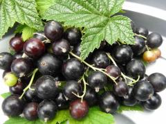 powder black currant fiber food
