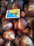 Продам цибулини червоного тюльпана